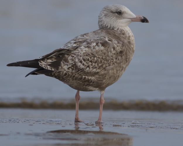 California Gull ???